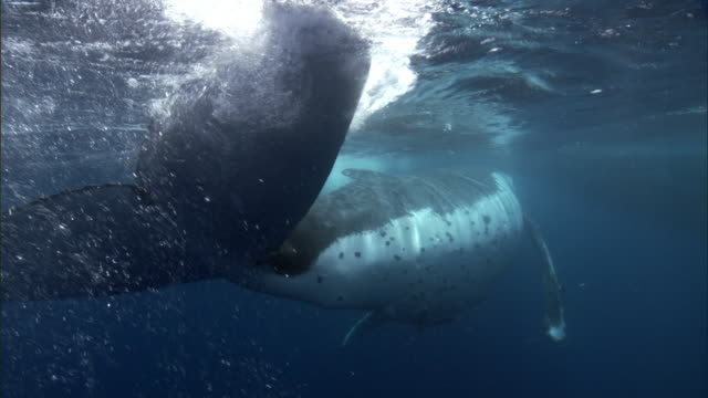 Humpback whale (Megaptera novaeangliae) at surface of blue ocean, Tonga