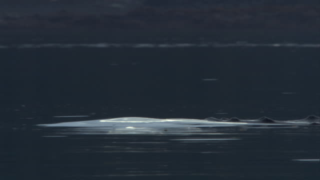 vídeos de stock, filmes e b-roll de a humpback whale barely breaks the surface of the water. available in hd. - cetáceo