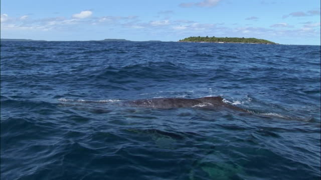 stockvideo's en b-roll-footage met humpback whale (megaptera novaeangliae) bowriding / tonga, south pacific - rugvin