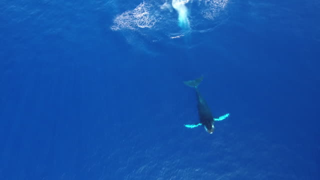 humpback whale breach aerial view - whale stock videos & royalty-free footage