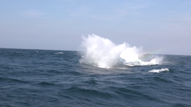 humpback whale breach off the east coast of south africa. footage was taken during the winter migration of these whale north to warmer waters. - animals breaching stock videos & royalty-free footage