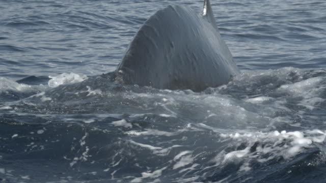 vidéos et rushes de a humpback whale breaches and then slaps its flukes on the ocean. - cétacé