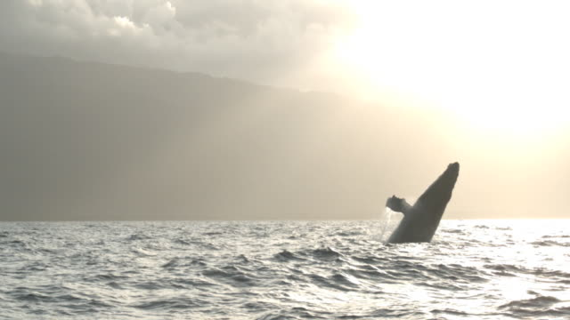 a humpback whale breaches near a coastline in sunlit mist. - cetacea stock videos & royalty-free footage