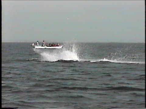 a humpback whale breaches near a small observation boat in san ignacio lagoon. - karibisches meer stock-videos und b-roll-filmmaterial