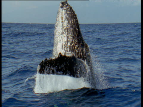humpback whale breaches nearby with a splash, hawaii - whale stock videos & royalty-free footage