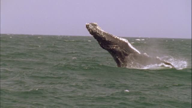 a humpback whale breaches out of the water. - breaching stock videos & royalty-free footage
