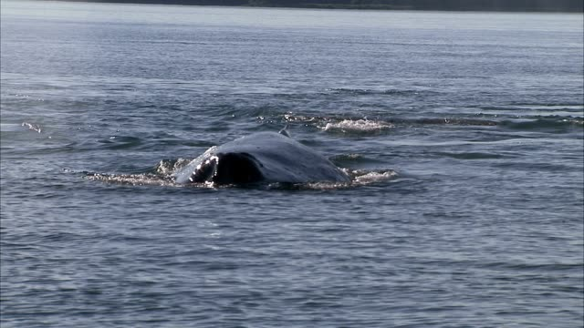 a humpback whale breaches the ocean and resubmerges. - cetaceo video stock e b–roll