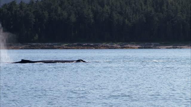 vídeos de stock, filmes e b-roll de humpback whale breaches the ocean and re-submerges. - espiráculo