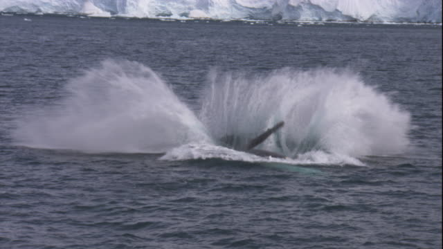 a humpback whale breaches with a splash in the southern ocean. available in hd. - whale stock videos & royalty-free footage