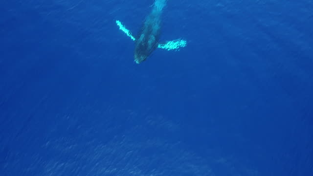 stockvideo's en b-roll-footage met humpback whale breaching aerial view - walvis