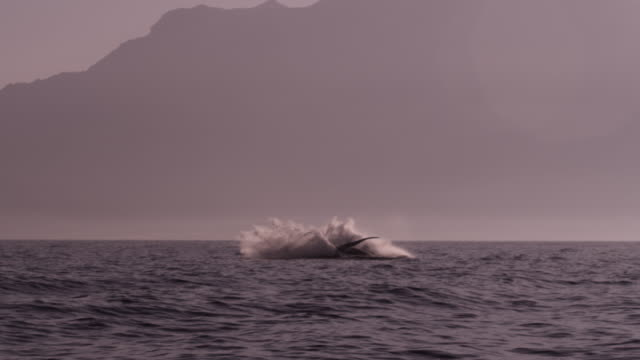 Humpback whale (Megaptera novaeangliae) breaching at surface of Arabian sea, Oman