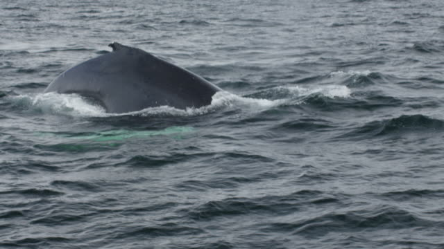 Humpback whale breaching close up
