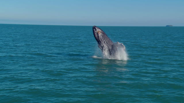 humpback whale (megaptera novaeangliae) breaching, iceland, n atlantic - minke whale stock videos & royalty-free footage