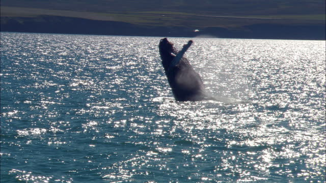 humpback whale (megaptera novaeangliae) breaching, iceland, n atlantic - breaching stock videos & royalty-free footage