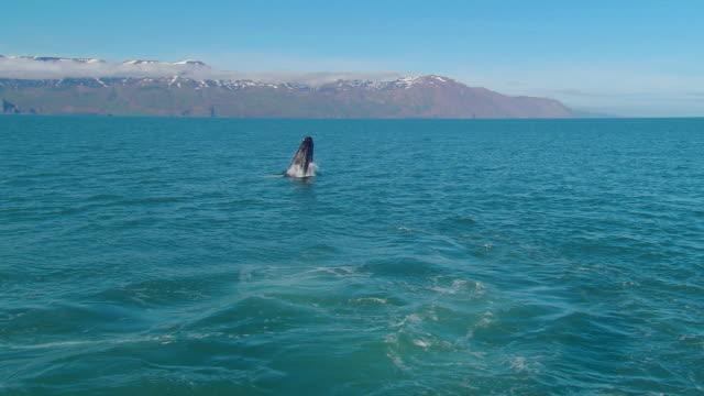 Humpback whale (Megaptera novaeangliae breaching), breaching, Iceland, N Atlantic