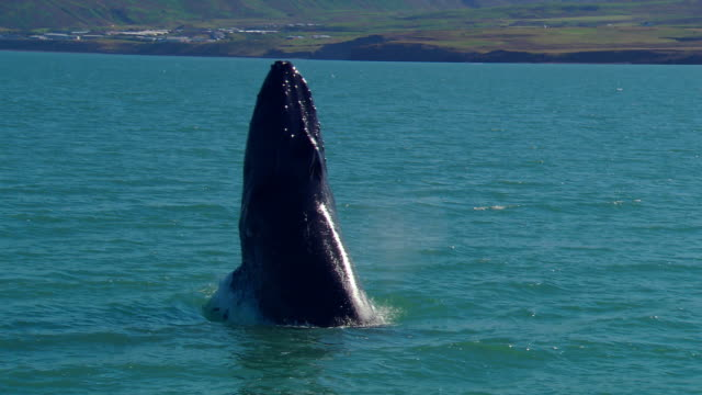 humpback whale (megaptera novaeangliae) breaching, iceland, n atlantic - animals breaching stock videos & royalty-free footage