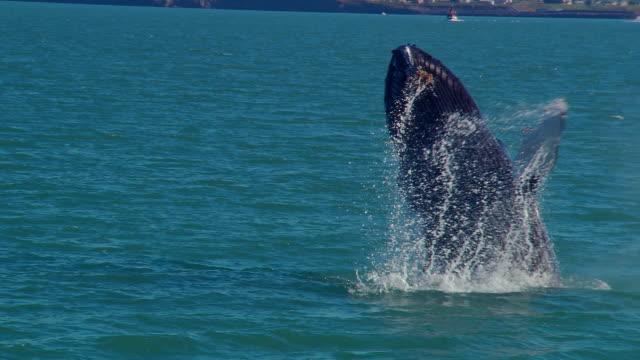 Humpback whale (Megaptera novaeangliae) breaching, Iceland, N Atlantic