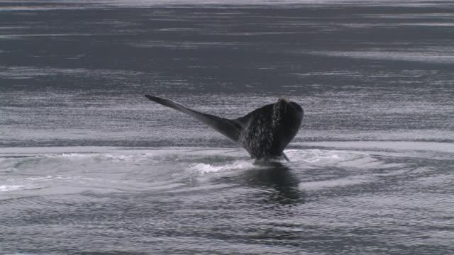 ms, humpback whale (megaptera novaeangliae) breaching in glacier bay, glacier bay national park and preserve, alaska, usa - lobtailing stock videos & royalty-free footage