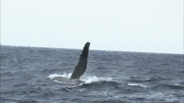 Humpback Whale Breaching In Ocean