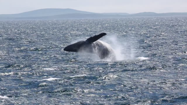 humpback whale breaching, north pacific - wal stock-videos und b-roll-filmmaterial