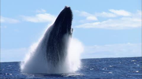 vídeos y material grabado en eventos de stock de humpback whale breaching - antarctica