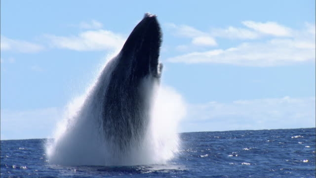 humpback whale breaching - largo descrizione generale video stock e b–roll