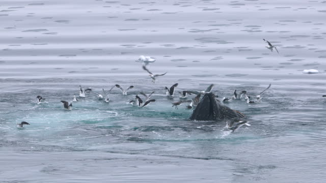 humpback whale bubble-net feeding amongst flock of kelp gulls - humpback whale stock videos & royalty-free footage