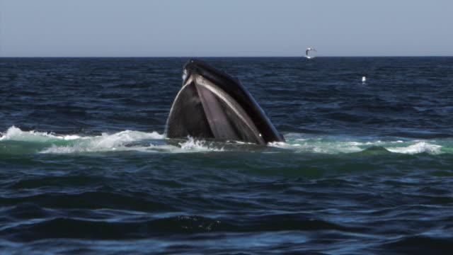 humpback whale bubblenet feeding, nantucket, usa - feeding stock videos & royalty-free footage