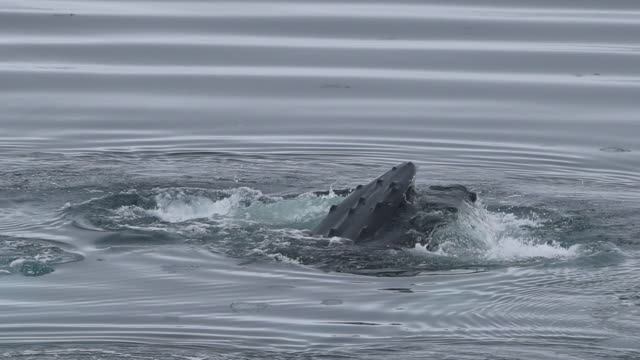 humpback whale bubble-net feeding - humpback whale stock videos & royalty-free footage