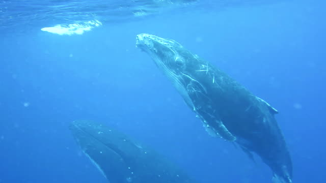 Humpback whale calf and it's mother swim to the surface to breath.