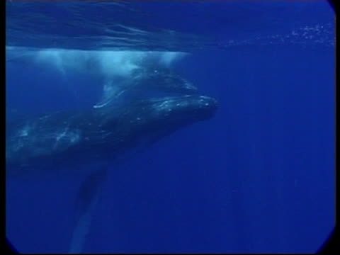 stockvideo's en b-roll-footage met mcu humpback whale (megaptera novaeangliae) calf and mother swimming together underwater, tonga - cetacea