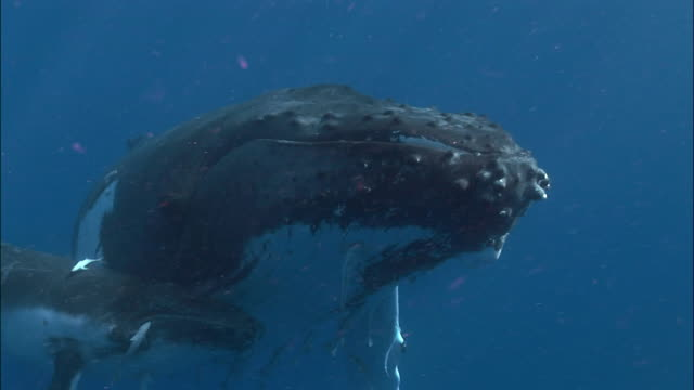 humpback whale (megaptera novaeangliae) calf and mother swimming under surface of water attended by remoras (echeneidae) / tonga, south pacific - buckelwal stock-videos und b-roll-filmmaterial