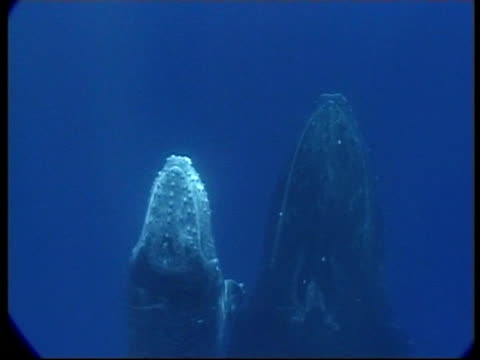 stockvideo's en b-roll-footage met cu humpback whale (megaptera novaeangliae) calf and mother swimming up to surface, underwater, tonga - cetacea