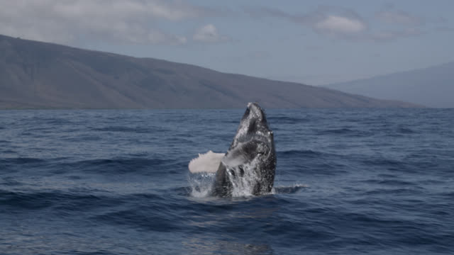humpback whale calf breaches with a splash - buckelwal stock-videos und b-roll-filmmaterial