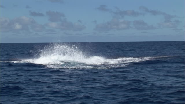Humpback whale (Megaptera novaeangliae) calf breaching / fluking / swish pan to mother breaching / Tonga, South Pacific