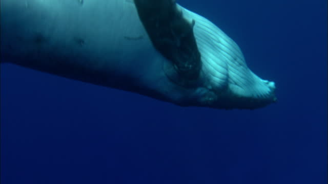 humpback whale calf inhaling - kalb stock-videos und b-roll-filmmaterial