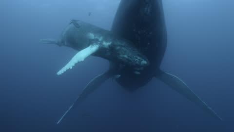 vídeos de stock e filmes b-roll de humpback whale calf nuzzles mother, dominican republic - baleia de bossas
