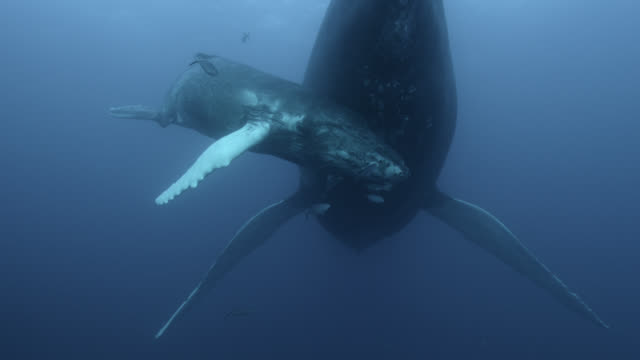 humpback whale calf nuzzles mother, dominican republic - kalb stock-videos und b-roll-filmmaterial