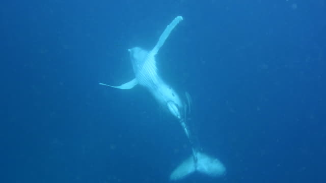 humpback whale calf playing underwater. - pirouette stock videos and b-roll footage