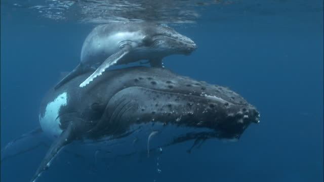 humpback whale (megaptera novaeangliae) calf riding piggyback on mother at water's surface / tonga, south pacific - kalb stock-videos und b-roll-filmmaterial