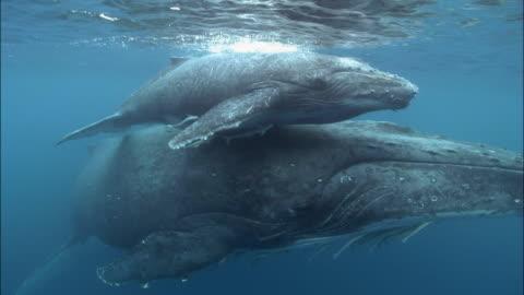 vídeos de stock e filmes b-roll de humpback whale (megaptera novaeangliae) calf riding piggyback on mother's rostrum as they swim along surface of water with remoras (echeneidae) clinging to them / tonga, south pacific - baleia de bossas