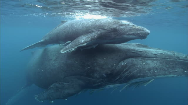 humpback whale (megaptera novaeangliae) calf riding piggyback on mother's rostrum as they swim along surface of water with remoras (echeneidae) clinging to them / tonga, south pacific - buckelwal stock-videos und b-roll-filmmaterial