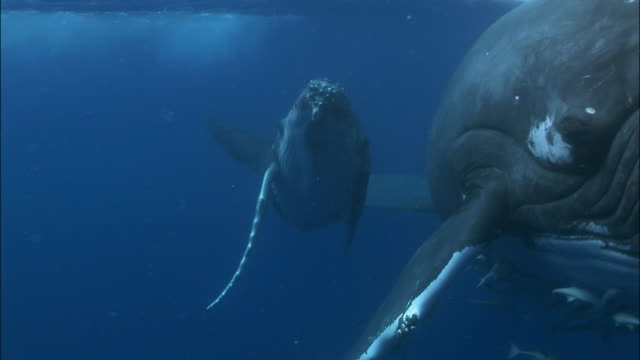 humpback whale (megaptera novaeangliae) calf rolling around under surface of water next to mother / close up of mother with remoras (echeneidae) clinging to throat grooves / tonga, south pacific - kalb stock-videos und b-roll-filmmaterial