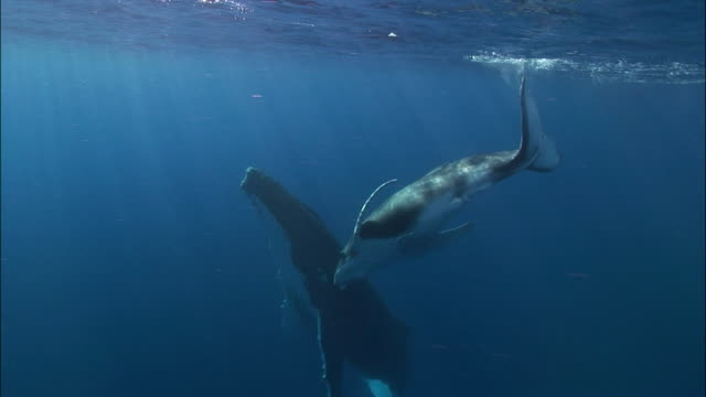 Humpback whale (Megaptera novaeangliae) calf rubbing against mother in sunlit water / Tonga, South Pacific