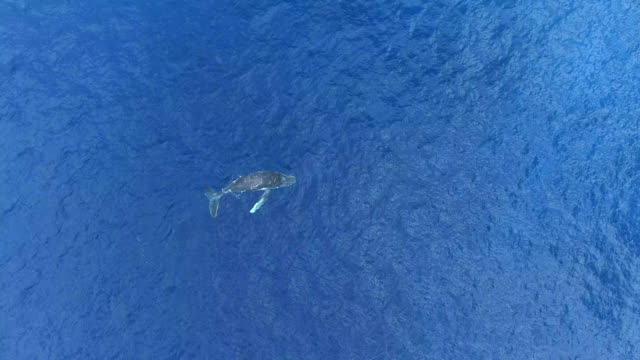humpback whale calf, south pacific ocean - south pacific ocean stock videos & royalty-free footage