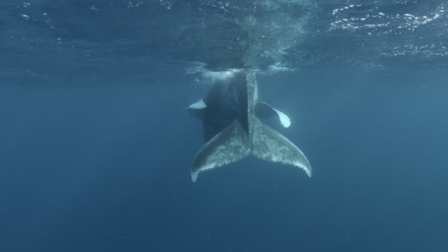 humpback whale calf surfaces, dominican republic - surfacing stock videos & royalty-free footage