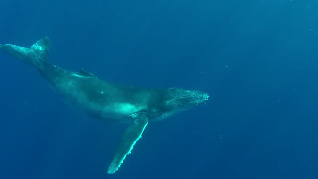 humpback whale calf swims across in front of camera and exhales. - humpback whale stock videos & royalty-free footage