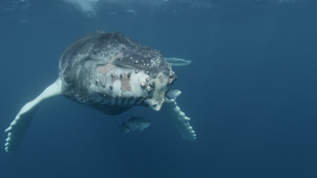 stockvideo's en b-roll-footage met humpback whale calf swims at surface, dominican republic - zeedieren