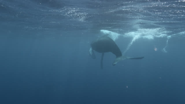 humpback whale calf swims at surface - whale stock videos & royalty-free footage