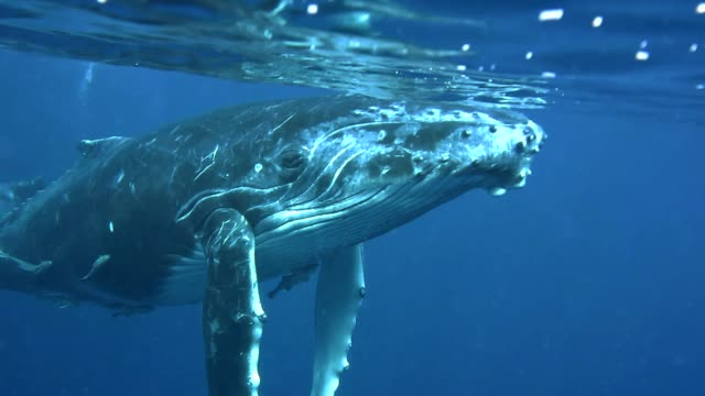 humpback whale calf swims to the camera, vava'u, tonga. - animal fin stock videos & royalty-free footage